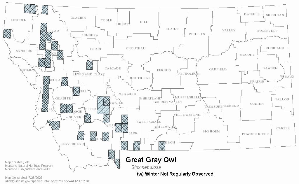 Great Gray Owl - Montana Field Guide