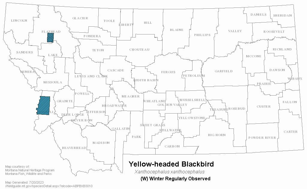 Yellow Headed Blackbird Range Overwintering