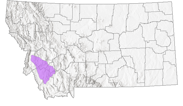 Sapphire Rockcress - Montana Field Guide